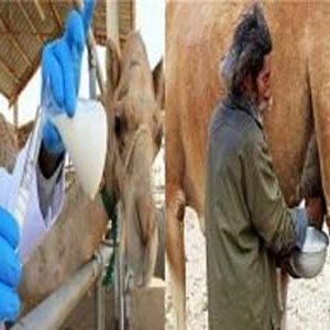 जानिए ऊंटनी का दूध पीने के फ़ायदों के बारे मे