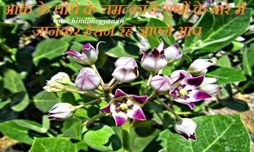 क्या आपको पता हे आक (मदार) के पौधे के चमत्कारी गुणों के बारे में जानकर हेरान रह जाएगे आप